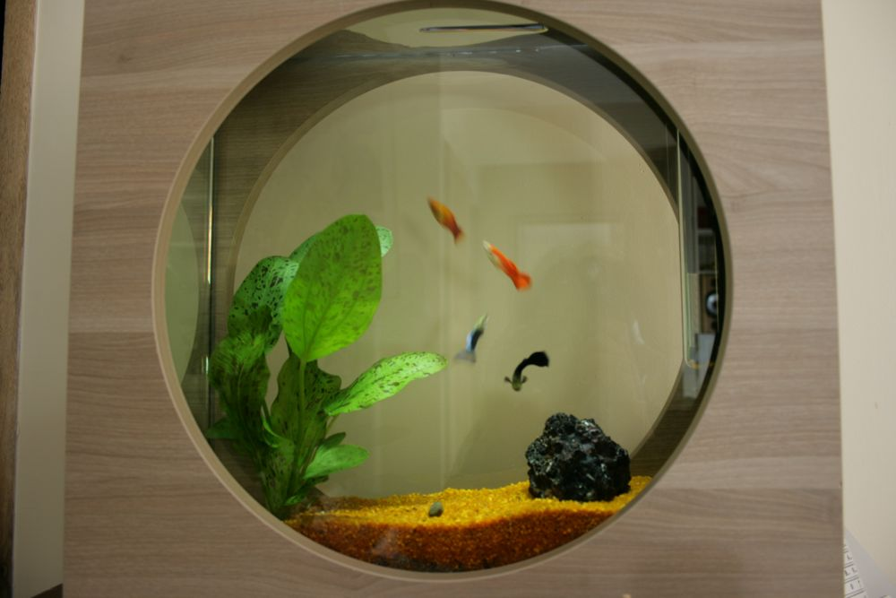 Un poisson rouge et orange colicot et un poisson laveur de for Nettoyeur aquarium poisson